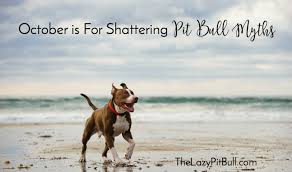 american pitbull terrier 10 months october is for shattering pit bull myths the lazy pit bull