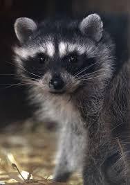 Raccoons In Backyard Mystery Of Fatal Raccoon Disease Solved Sfgate