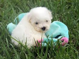bichon frise names male the happy woofer bichon frise delaware dog breeder puppies