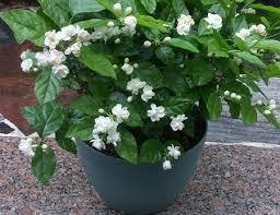 Most Fragrant Jasmine Plant - 10pc white jasmine seeds most fragrant flowers bonsai in bonsai