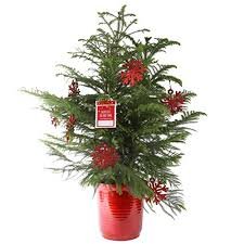 live christmas trees live christmas trees shop for live christmas trees price