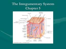 the integumentary system chapter 5 integumentary system pinterest