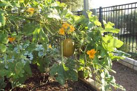 Growing Pumpkins On A Trellis Growing Pumpkins On A Trellis Can Pumpkins Grow On Trellises