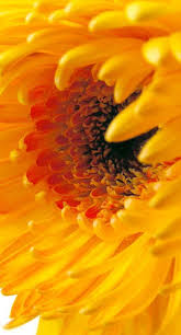 216 best flora yellow images on pinterest pretty flowers