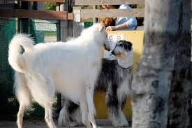 afghan hound long haired dogs afghan hound dog breed information pictures u0026 more