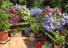balkon und terrassenpflanzen günstig kaufen auf blumen de - Balkon Und Terrassenpflanzen