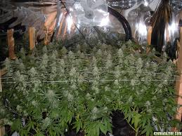 shottafire u0027s bubba og sealed medical grow in sunshine 4 page 31