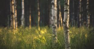 06 15 15 2560x1340 birch tree desktop wallpapers free nature