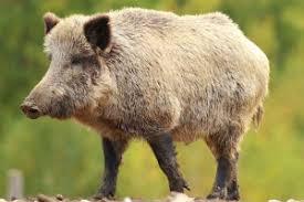 feral hog kaput products