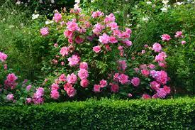 roses dirt simple