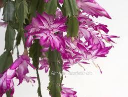 thanksgiving cactus schlumbergera truncata pictures care tips