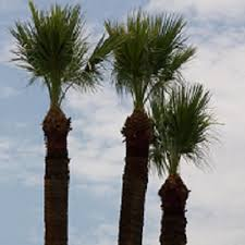 tree trimming cutting removal services palm desert