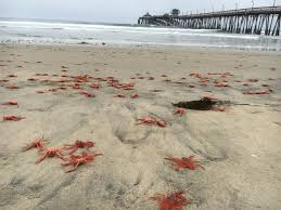 they u0027re back u0027 hordes of tiny red crabs carpet california beaches