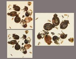 bed bug vs spider bite spider beetles and bed bugs photo comparison