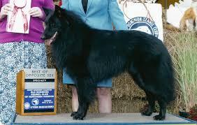 belgian sheepdog litters jesse bel royale belgian sheepdogs