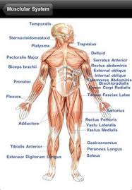 Anatomy And Physiology The Muscular System Human Anatomy Diagram More Information Human Anatomy 101 Human