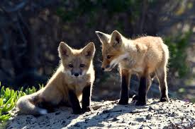 fox symbolism a message spirit animal totems