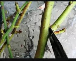 Vegetative Propagation By Roots - how would you grow a rose plant by vegetative propagation quora