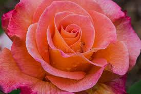 mardi gras roses mardi gras stock photo image of flower macro orange 95935442