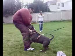 american pitbull terrier gotti razors edge american bully silver 75 razor edge x 25 gotti line youtube
