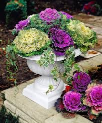 buy bedding plants now ornamental cabbage 2 col bakker