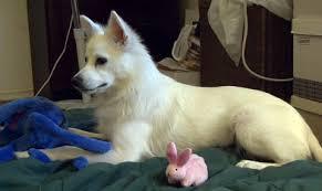 american eskimo dog forum american eskimo dog heidi