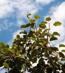 ornamental pear tree problems