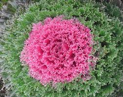 ornamental cabbage etsy