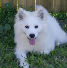 types of american eskimo dogs our family dog i thought she was a type of pomsky but we found
