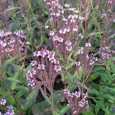 fleurs vivaces rustiques verbena hastata rosea verveine hastée des marais vivace