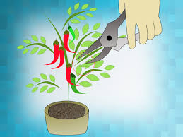 how to grow cayenne peppers 10 steps with pictures wikihow