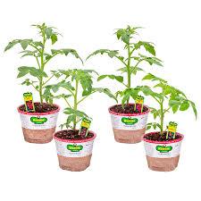 home depot spring black friday 2016 bonnie plants shop vegetable plants at lowes com