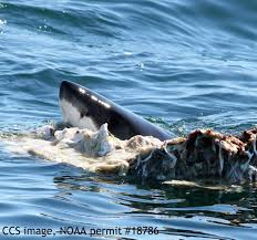 sharks feed on whale off truro prompt beach closings news