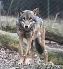gray wolf wikipedia