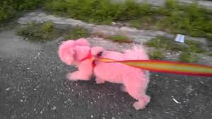 bichon frise dog pictures molly is a pink bichon frise puppy dog cute pink dog youtube
