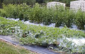 plastic garden mulch advance greenhouses
