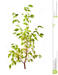 isolated small green tree stock image image of conservation