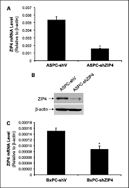 down regulation of zip4 by rna interference inhibits pancreatic