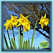 cornish daffodils and snowdrops coombe mill