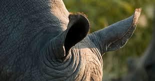 pin larisa stevenson rhino rhinos