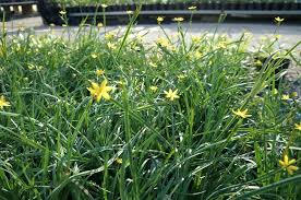 home designer pro layout uc davis plant sale yellow eyed grass by arboretum public garden