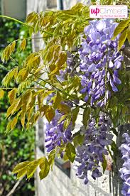wisteria sinensis blue flowering my perfect garden