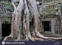 silk cotton tree roots ta prohm temple angkor cambodia stock