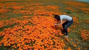 wildflower california poppies lancaster ca april 17 2010