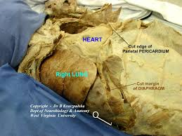 anatomy of lungs ppt gallery learn human anatomy image