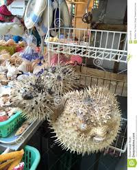 dried up puffer fish stock photo image 64143418