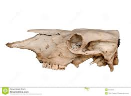 cow skull side view stock photography image 3721312