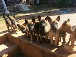 belgian shepherd breeders south africa malinois puppies for sale pretoria tshwane public ads south africa