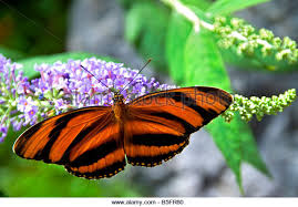 striped tiger butterfly stock photos striped tiger butterfly