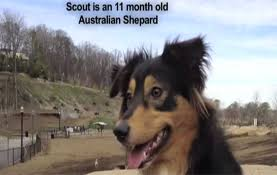 australian shepherd off leash dog training videos dog trainers atlanta dog wizard